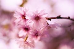 Soft Blossom (RicHampton) Tags: morning pink flower tree nature sunshine 35mm garden spring soft raw blossom branches sony seasonal sunny surrey delicate breeze lightroom splittoning 2013
