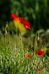 Poppies (A.saraflorence) Tags: life city flowers light red italy flower color macro green art love nature colors beautiful canon garden photography photo spring europe artist day photos dream poppy poppies instant marche