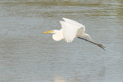 Sanibel Trip 2013 - Ding Darling Wildlife Refuge - Great Egret