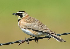 Horned Lark, singing (birding4ever) Tags: 5 ngc npc worldofbirds birdwatcher hornedlark fieldguidebirdsoftheworld birdlovers spectacularanimals beautifulbirds avianphotography avianexcellence excellenceinavianphotography birdsphotos thefriendsofworldbirds theworldsbestnaturewildlifeandmacrophotography feathersbeaksbirds allbirdsallthetime birdinginthewild fantasticwildlife worldnatureandwildlifegroup wildlifeaward naturebirdsandwildlife northamericannaturewildlifephotography feathersandbeaks topshotwildbirds avibase birdwatchinggroupbwg naturescarousel birdperfect naturesgoldencarousel naturewithallitswonders naturallywonderful hennysanimalkingdom thebestofwildlifenature eremophilaalpestrisrubea prestigenature amazingwildlifephotography bestbirdphotography thenaturesbestwildlifegroup defenders{nature}macroandcloseup betterbirdphotography naturesplatinumcarousel dmslair thesunshinegroup sunrays5 ourwonderfulandfragileworld flickbirdbrigade sjohnsonsfaunahighqualityimagesonly