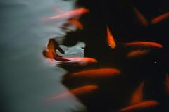 (thisisforlovers) Tags: madrid boy people españa orange man reflection water pond spain agua goldfish silhouettes pinkfloyd personas reflejo chico escorial