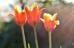Evening Tulip (Worjohn) Tags: flowers england sunlight nature digital john spring nikon natural image cotswolds bloom bishops cheltenham thompson sunnyday cleeve bloomen d7000 worjohn
