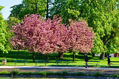 Paris, dans le Bois de Vincennes 92 (paspog) Tags: paris france fleurs spring blossoms boisdevincennes printemps frhling