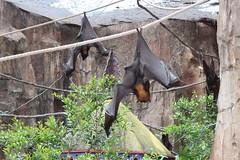 Morcegada (alnero) Tags: park usa canon eos rebel orlando florida bat frias disney eua vacations bats animalkingdom t3i morcego parquedediverses lakebuenavista morcegos