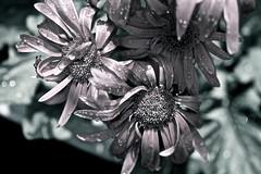 undecided (reinetor) Tags: light flower macro up rose canon lens eos close bokeh 5d wrinkle f28 undecided raindrop mark3 色彩 everythingisilluminated ef100 alwaysthinkingaboutyou カラー写真
