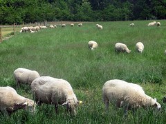 Sheep grazing (baalands) Tags: green grass spring sheep flock pasture grazing
