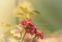 Wither (Aliza.Azhar) Tags: flower bokeh wither dof 50mm pakistan daylight