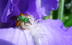 Green-headed drunken bug on Iris (jasbond007) Tags: blue iris plant canada flower nature bug insect photography photo photographer image britishcolumbia panasonic allrightsreserved kaleden greenheaded lx5 lindengardens nigeldawson dmclx5 jasbond007 copyrightnigeldawson2013