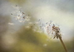 In the Wind (Vemsteroo) Tags: motion macro nature closeup canon spring movement weed natural wind blow 100mm dandelion seeds textures abundant usm wish f28 textured 6d circleoflife pollination flypaper beautyinnature