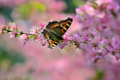 411 - B L O S S O M S (Arvinder SP) Tags: pink flowers nature cherry blossom bokeh butterly nikond3100