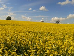 Rutland Rape (Adam Swaine) Tags: county uk flowers blue england english beautiful yellow rural landscape photography countryside flora britain rape east rutland counties naturelovers swaine samsungmobile 2013 countyofrutland adamswaine mostbeautifulpicturesmbppictures wwwadamswainecouk