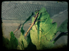 Sungaya inexpectata nymph (ArthroBoy) Tags: arthropoda phasmatodea sungaya inexpectata