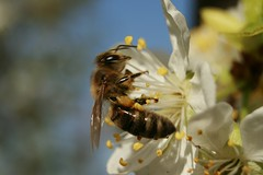 Macro_Photography_Western honey bee 3 (kaliphoto) Tags: bug insect canon1855 canon100mm canonrebelxti kenkorings