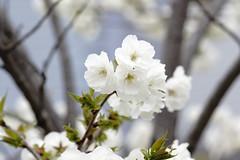 (ddsnet) Tags: travel plant flower japan sony   cherryblossom  sakura nippon  kansai  nihon hanami  backpackers   flower     nex        cherry  blossom mirrorless osakafu  japan  sakashi   flowerinjapan newemountexperience nex7