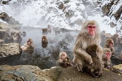 Snow Monkey II (Umberto Marcacci) Tags: japan japanese monkey nap sleep sonno giappone hotsprings pisolino jigokudani macaque terme snowmonkey macachi scimmie yaenkoen termali