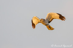 Northern Harrier - IMG_7922 (arvind agrawal) Tags: