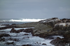 Southafrica-Hout_Bay-Sea_Island_14 (Alf Igel) Tags: africa southafrica island bay south capetown seal kap sealion hout kapstadt seehund halbinsel seahound sdafrica sealwe