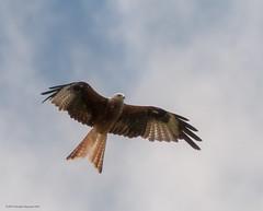 Red Kite.jpg (john j kennedy58) Tags: red wild kite bird canon fly wildlife prey birdofprey 30d redkite