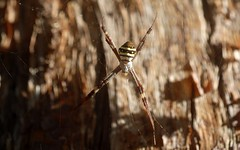 Argiope (dustaway) Tags: sunlight dof arthropoda arachnida araneae araneomorphae araneidae argiopinae argiopekeyserlingi australianspiders winter tullerapark tullera nature northernrivers nsw australia