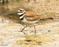 KILLDEER (sea25bill) Tags: killdeer shorebird slough morning sun algae nature wildlife animal california
