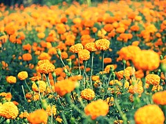 marigold farm (Durgesh Kulkarni) Tags: art amazing artistic andhrapradesh durgeshphotography depth dwaraka india indian indiannature indianflower indianflora ladakh flower frame flora find perfect beautiful forest beautifulnature beautifulflower wonderful white whiteflower water red rare royal travel trees track together t