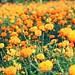 marigold farm