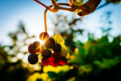 Blue Grapes (fancycrave) Tags: blue deutschland fall fuji germany grapes gundersheim herbst red rheinhessen rheinlandpfalz rot trauben velvia50 vineyard vsco04 wein weinberg wine x100s