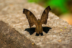 Je vais trouver un chemin vers toi (- Ali Rankouhi) Tags: butterfly india bangalore karnataka