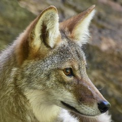 Coyote Portrait (adamsdale616) Tags: color beauty nature outdoor wisconsin dusk autumn golden water sky pond light new usa spring summer animals midwest colorful landscape northern nikon d7200 wildlife waterfront