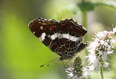 Map Butterfly (Araschnia levana - female - summer brood) (iainrmacaulay) Tags: map butterfly spain araschnia levana female summer brood