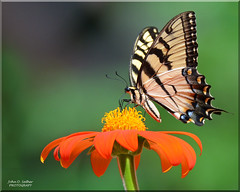 Eastern Tiger Swallowtail [Explored] (Windows to Nature) Tags: