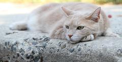 Monday (Kerri Lee Smith) Tags: feline tabby buff orange cream orangetabby bufftabby jimmy monday sidewalk curb catface cateyes