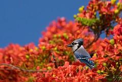 Blue Jay On Royal Poinciana tree. (Jamie Felton Photo) Tags: tree red blue specanimal outdoors wildlife bluejay bird nature cyanocittacristata southflorida