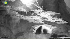 2016_08-12z (gkoo19681) Tags: beibei sleepyhead toocute adorable allalone cubisgrowingup ccncby nationalzoo