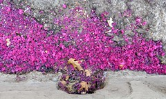 Gutter Flowers (Black Cat Bazaar) Tags: gutter drain petals pink crapemyrtle deadleaves chico california ca street downtown concrete