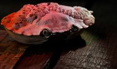 Crab Shell (Adaptalux) Tags: adaptalux photography lighting studio macro macrophotography closeup colour red orange shell seaside sea sand crab photo creative twist app product design crowdfunding kickstarter amazing nofilterneeded worldphotographyday color colourful summer beach autunm