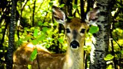 Assiniboine Park - September 14, 2016 15-41-28 (DerboPhoto) Tags: assiniboinepark deer doe beautiful 204 winnipeg manitoba canada derbophoto forest