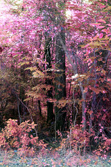 Signs of light (someoneandthewhale) Tags: forest pink purple magenta plants fantasy unreal road lake trail exploring adventure other planet methane