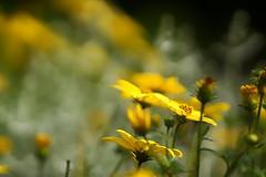 *** (pszcz9) Tags: polska poland przyroda nature kwiat flower zblienie bokeh lato summer beautifulearth sony a77