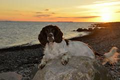 38/52 ZigZag 2016 (Flemming Andersen) Tags: helbojebi hund autum dog seaside sea water sunset zigzag 52weeksfordogs