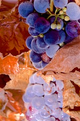 Mirrorish-Image (hectic skeptic - I've returned!) Tags: camarillo california markamorgan hybiscus grapes concordgrapes nude abstract