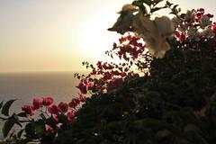 Flowers at sunset (msiapan) Tags: flowers sunset santorini greece       island