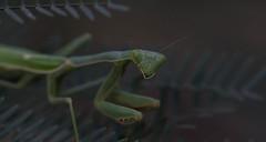 Well, Just Look At You! (harefoot1066) Tags: fabaceae prosopsis mesquite mantodea mantid mantidae stagmomantis prayingmantis mantis