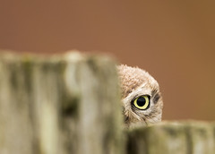 Little-Owl-peekaboo-John-Evans (Marwell Wildlife) Tags: marwell peoples choice 2016 photographer year wildlife vote