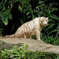 Sitting pretty in Singapore   #amarkaiphotography #wildlife #nature #animals #whitetiger #tiger #singaporezoo #singapore #zoo #travel #travelphotography #photooftheday #followme #facebook #instagram #flickr #twitter #eyeem #tumblr (Amarkai Photography) Tags: twitter flickr amarkaiphotography singapore travelphotography tiger wildlife facebook eyeem animals nature instagram singaporezoo followme whitetiger zoo tumblr photooftheday travel