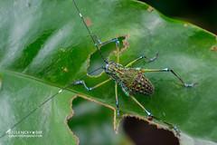 Katydid (Tettigoniidae) - DSC_1098 (nickybay) Tags: singapore macro nangka trail riflerangeroad katydid tettigoniidae nymph