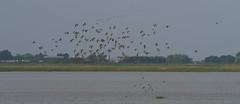 z for zoom (jump for joy2010) Tags: uk england somerset huntspill riverparrett hightide september 2016 nature wildlife birdwatcing birds blacktailedgodwits limosalimosa flocks inflight waderbirds