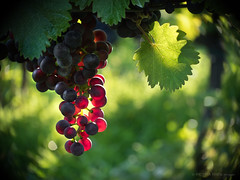 Grapes in back light (Petra Ries Images) Tags: gegenlicht kodakanastigmat63mmf27 wein weinberg weintrauben backlight grapes green grn red rot vineyard wine
