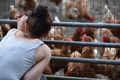 Chicks talk :) (Pics4life.nl) Tags: chicken girls fence wire colorful talk summer netherlands farm chikenfarm nature holland nl leersum kippenfarm biologischboeren