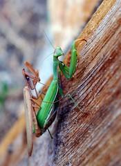 mating levels (Precious Roy) Tags: prayingmantis idaho fall mating mantid